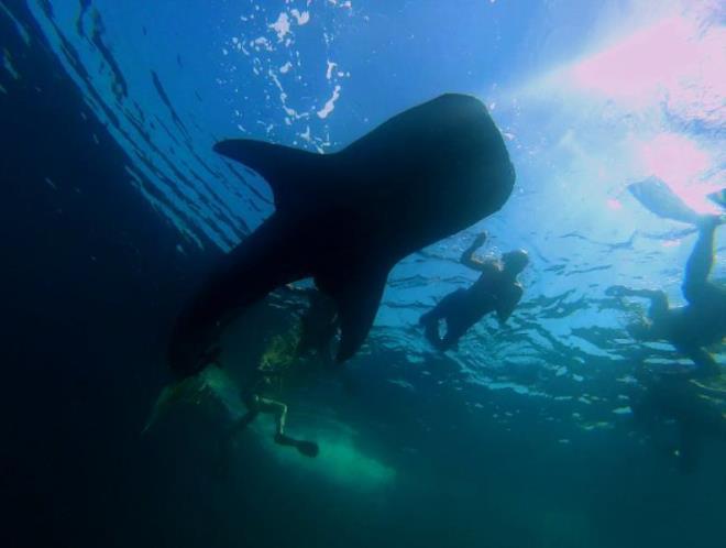 Тигровые акулы в Омане