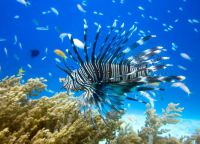 Рыба-лев у берегов Занзибара