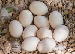 koristi raca jajčec