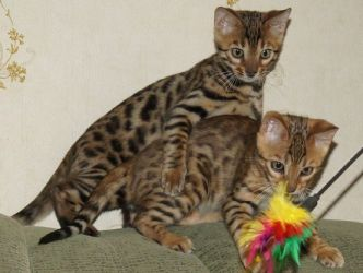 4. Bengalska mačka