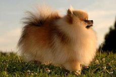 Њемачки шпиц пас
