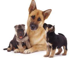 Еклампсия при симптоми при кучета