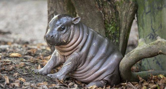 В Parken Zoo обитают бегемоты