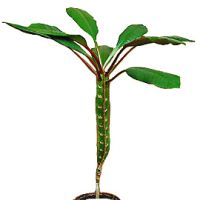 Euphorbia бели листа с жълти листа