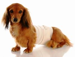 fałszywa ciąża u psów1