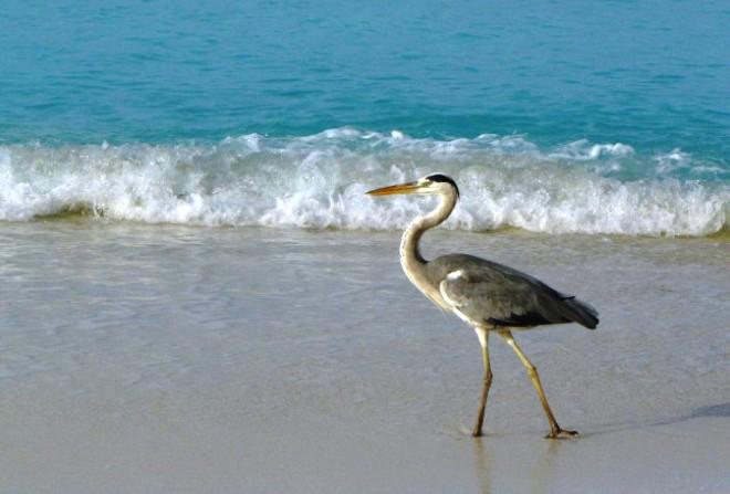 Цапли на побережье