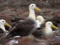 Галапагосские острова - волнистые альбатросы