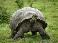 Галапагосские острова, слоновая черепаха