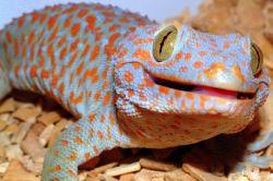 doma gecko