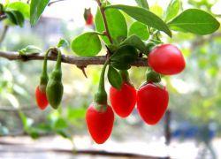 Szkodliwe jagody goji