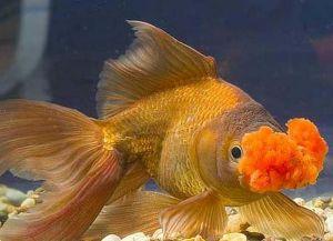 Ryby akwariowe złote - species10
