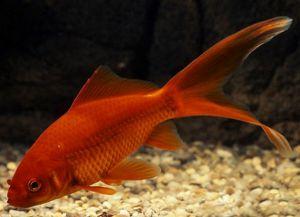 Złote ryby akwariowe - gatunek1