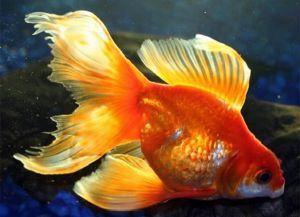 Ryby akwariowe złote - species2