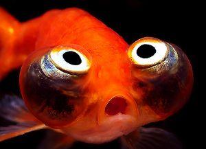 Ryby akwariowe złote - species3