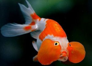 Ryby akwariowe złote - species4