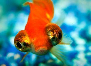 Ryby akwariowe złote - species5