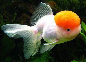Ryby akwariowe złote - species6