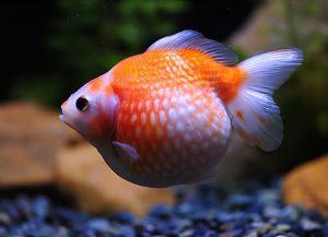 Złote ryby akwariowe - gatunek7