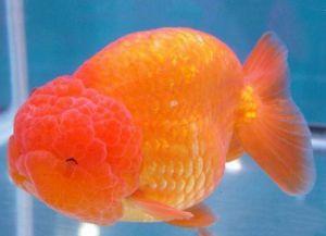 Ryby akwariowe złote - species8