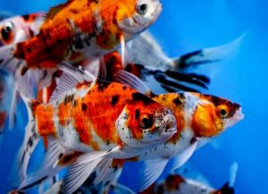 Ryby akwariowe złote - species9