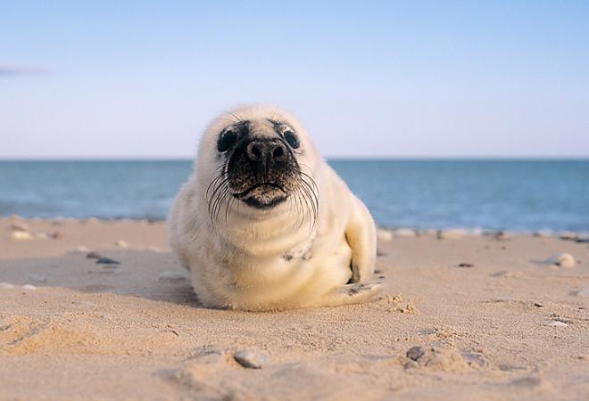 Серые тюлени в Готска Санден