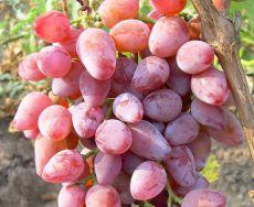 Roza Timur grozdje