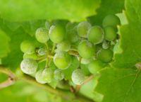 bolest i kontrola grožđa 5