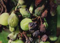 bolest grožđa i kontrola 6