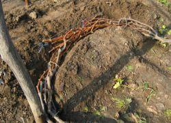 kako rezati in pokrivati grozdje za zimo