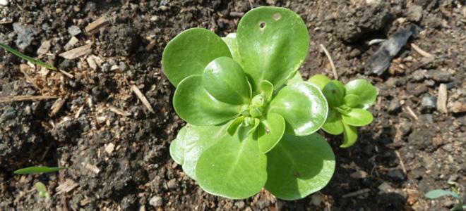 biljka prkos