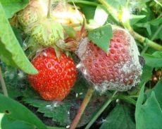 сиво гниене на ягоди