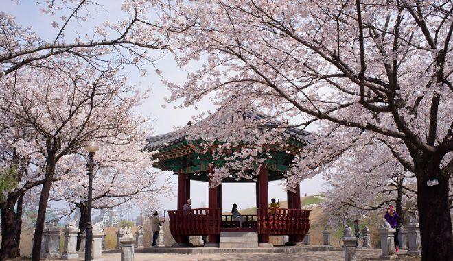 Цветение сакуры во дворце
