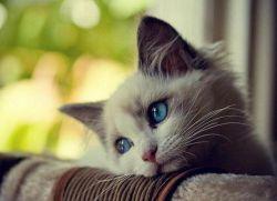 Хемобаланце за мачке1