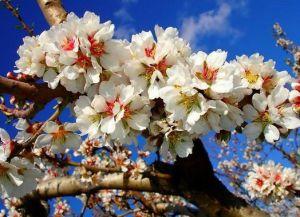 Праздник цветения миндаля в Марокко