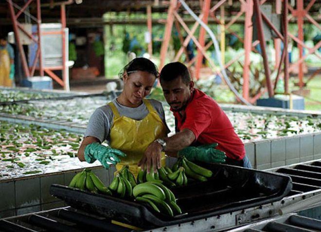 Банановое предприятие