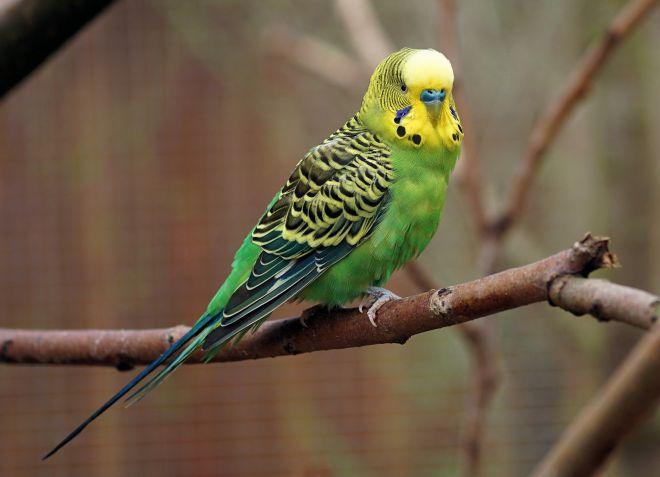 как выбрать молодого попугая