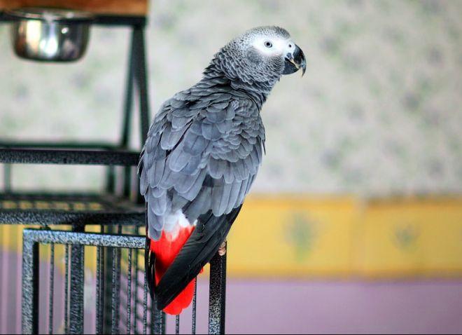 как выбрать попугая жако