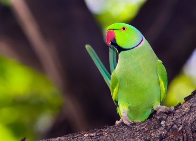 как выбрать ожерелового попугая