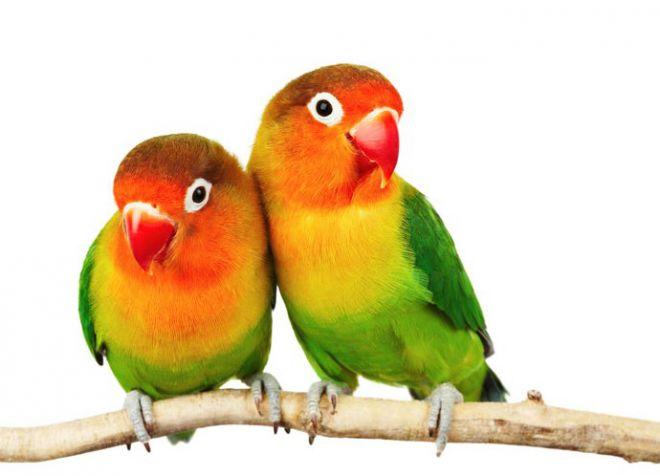 как выбрать попугая неразлучника