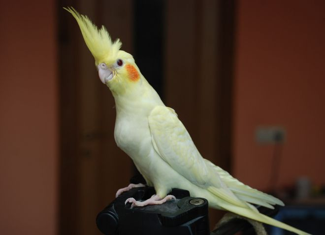 как выбрать попугая кореллу