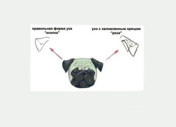 Како лепити уши пуг1