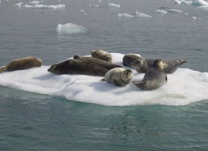 Пристанище для тюленей