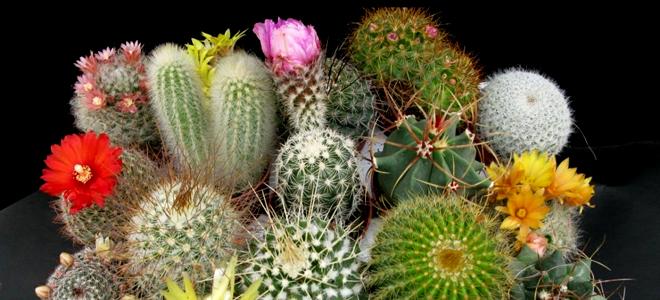 продаја кактуса