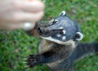 В национальном парке Игуасу обитает редкий зверек коати