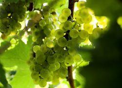 Ile lat winogrona przyniosły owoce?