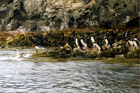 Пингвины на островах Снэрс