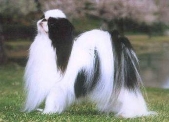Японска порода порода куче