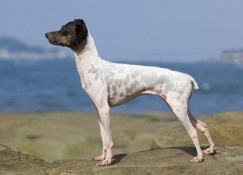 Японски териер куче порода