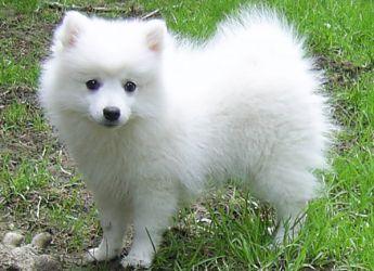 Akita японска порода за кучета