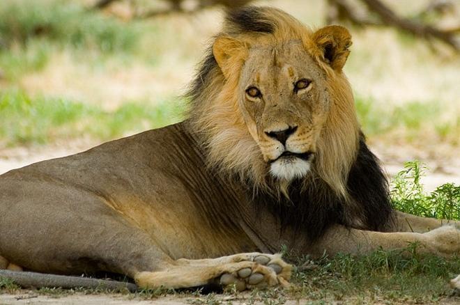 Владыка Калахари - лев
